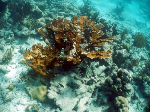 Acropora cervicornis013.jpg