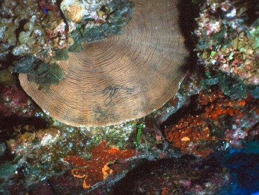 Acropora cervicornis010.jpg