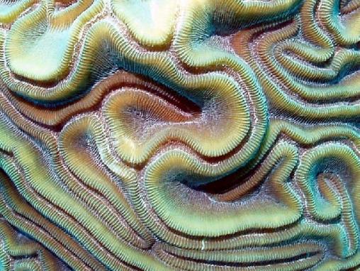 Acropora cervicornis012.jpg