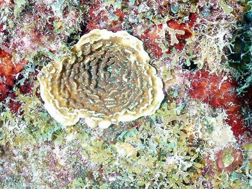 Acropora cervicornis07.jpg