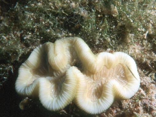 Acropora cervicornis02.jpg