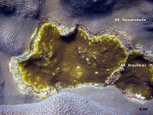 Acropora cervicornis011.jpg