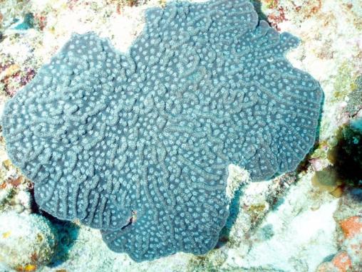 Acropora cervicornis05.jpg