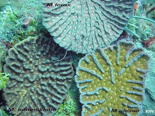 Acropora cervicornis09.jpg