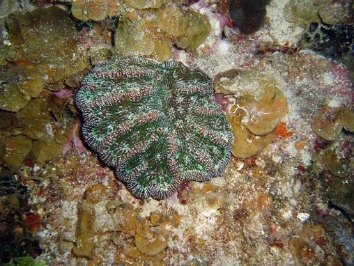Acropora cervicornis06.jpg