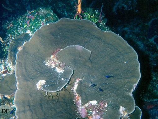 Acropora cervicornis03.jpg