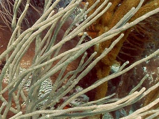 Acropora cervicornis014.jpg