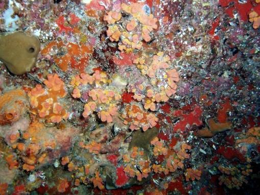 Acropora cervicornis01.jpg