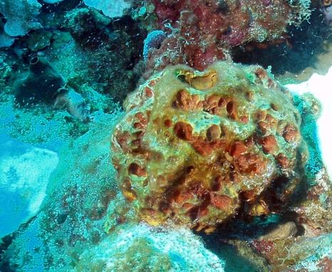 Acropora cervicornis04.jpg