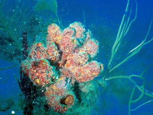 Acropora cervicornis08.jpg